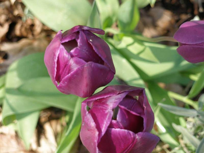 Morningtulips